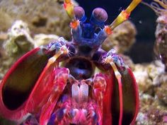 mantis shrimp - this guys sees in rainbows and packs a punch!