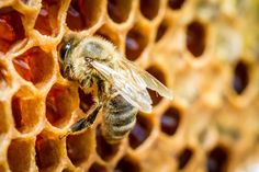 7 Health Benefits of Bee Propolis - may help cancer prevention and slowing down cancer, anti-microbial action, heals burns, prevents dental cavities...