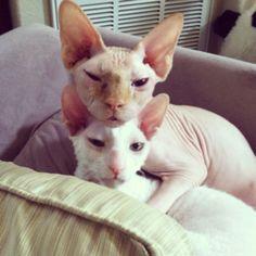 Yoda Jedi, my hairless cat (aka Sphynx) loving on Mr. Glitter, my Cornish Rex. Exotic cats. <3