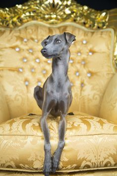 gold italian greyhound - something about these dogs make them so awkward yet so adorable at the same time! Beautiful Dogs, Animals Beautiful, Cute Animals, Wild Animals, Baby Animals, I Love Dogs, Cute Dogs, Magyar Agar, Grey Hound Dog