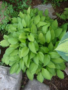 Hosta 'Twist of Lime'