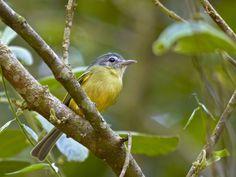 (Tolmomyias sulphurescens) Yellow-olive Flycatcher