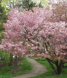 rusokirsikka Prunus sargentii Beautiful World, Beautiful Places, Spring Pictures, Pink Trees, Wonderful Flowers, Formal Gardens, Spring Blossom, May Flowers, Flowering Trees