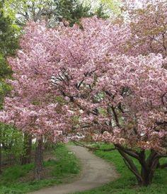 Cherry blossom (rusokirsikka)