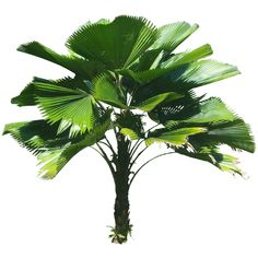 Height : ft) Common names : Ruffled fan palm, vanuata fan palm, Palas Palm. Licuala grandis is native to. Palm Plant, Trees To Plant, Plant Leaves, Tree Psd, Fan Palm, Tree Sketches, 3d Texture, Plant Pictures, Tree Silhouette