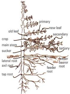 coffee cherry structure - Google Search