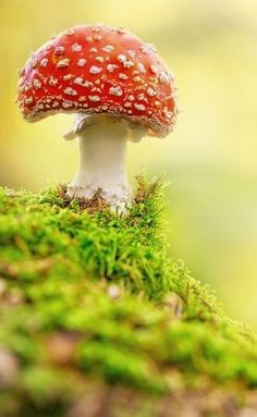 Fly Agaric in forest ~ by Stefan Holm on 500px (the perfect fairy tale mushroom)