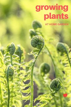 Best tips for growing plants at home garden #indoorgarden #gardening #homegardening #gardenideas #indoorplants #gardendecor #homeideas #diyhomedecor #inspirations #positivevibes #roomfruit #howto #diy #roomfruit
