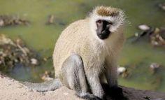 Vervet Monkey Images New World Monkey, Types Of Monkeys, Old World, Pictures, Animals, Image, Photos, Animaux, Animal