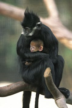Francois' langur by Official San Diego Zoo, via Flickr