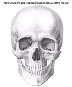 Картинки по запросу череп