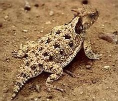 Horned Lizard (Phrynosoma cornutum) Southwest United States Geckos, Reptiles And Amphibians, Mammals, Horned Lizard, Fire Ants, Childhood Days, Toad, Creatures, Lizards