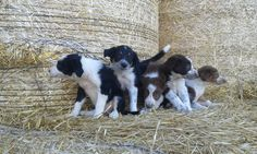 Border Collie Puppies | Bishop Auckland, County Durham | Pets4Homes