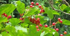 Viburnum opulus Also, Known As: Crampbark Cranberry Bush Cranberry Tree Guelder Rose Pembina Pimbina Whitten Tree Crampbark (botanical name Viburnum opulus) is basically a shrub that is indigenous …