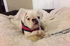 Gertrude Louise came into this world with having a mountain to climb. Born with a cleft palate, Gertie had to fight to survive. Thankfully she had an amazing group of people help her win that fight. American Bulldog Rescue took immeditate action to save her life. She spent her first few weeks in...
