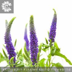 Tädykkeet, Veronica Gerbera, Veronica, Flowers, Plants, Image, Inspiration, Biblical Inspiration, Florals, Plant