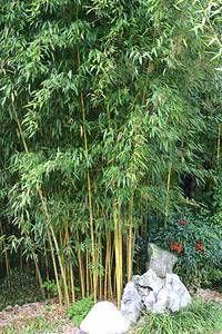 Bambus:Bambus für Einsteiger ohne ausläufer