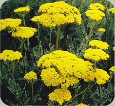 Yarrow, nutrient accumulator, good for underplanting