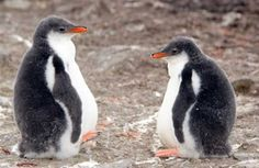 Gentoo Baby Penguins by Jon Cox Fine Art Print