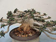 Euphorbia cyllindrifolia v. tuberifera