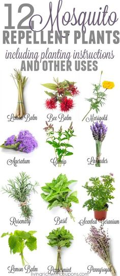 Mosquito Repellent Plants | Plants that repel bugs | Bug Repelling Plants | Container Plants| Mosquito Repelling Plants