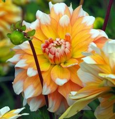 Dahlia 'Seattle'...I have a thing for dahlias