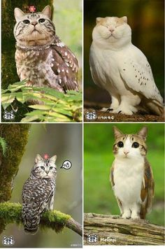 """With Cat Heads Are Totally Creepy-Cute Haha! """"Meowls"""" - owls with cat's heads! """"Meowls"""" - owls with cat's heads! Animal Memes, Funny Animals, Cute Animals, Animal Quotes, Farm Animals, Crazy Cat Lady, Crazy Cats, I Love Cats, Cute Cats"""