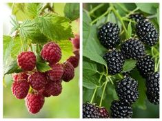 Blackberry, Natural Remedies, Flora, Food And Drink, Health, Nature, Home, Plant, Salud