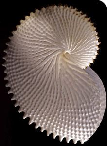 The paper nautilus - Ak Muse
