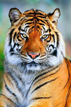 Wow, what a majestic tiger.Do you love wildanimals, pets, birds, check for more amazing content. Beautiful Cats, Animals Beautiful, Cute Animals, Wild Animals, Baby Animals, Tiger Fotografie, Tiger Pictures, Art Pictures, Big Cats Art