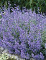 Mirrinminttu Mirrinminttu on tuoksunsa ja runsaan kukintansa ansiosta perhosten suosima kasvi. Mainio reunuskasvi perenna- ja kivikkoryhmiin. Sopii myös ruukkuistutuksiin. Hyviä naapuruuskasveja ovat esimerkiksi kurjenpolvet.  Kukinta: kesä-elokuu Kasvukorkeus: 30-50 cm Kasvupaikka: aurinkoinen, puolivarjoinen Talvenkesto: melko kestävä