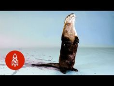 Great Big Story : Back from the Brink: The North American River Otter