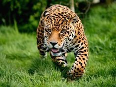 Differenza tra leopardo e ghepardo