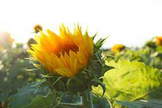 Sunflower touched with sunshine Free Photos, My Photos, Photography Portfolio, Sunshine, Graphic Design, Plants, Nikko, Plant, Visual Communication