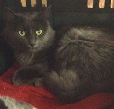 Serena - I am a gorgeous, long-haired, Russian Blue - that was abandoned while still nursing my kittens. I am very sweet and looking for my forever home.    ADOPT ME! http://www.animalkind.info/content/Adoption_Application/Adoption_Application