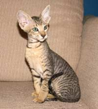 Peterbald Cat - I love mine to pieces.  All personality and NO shedding.
