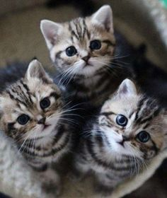 Trio of super cute tabby kittens looking up (hva)
