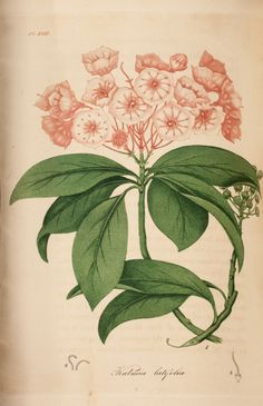 """Possibly engraved by W. B. Annin or Annin and Smith from a drawing by Jacob Bigelow(?). Colored engraving of flowering Kalmia latifolia or Mountain Laurel (Figure 1) with """"Stamens"""" (Figure 2) and """"Calyx and pistil"""" (Figure 3)."""