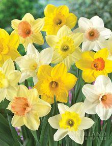 Mixed Daffodils Naturalizing (50 bulbs)