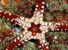 Морская звезда на рифе у Соломоновых островов. Подвид этой морской звезды определяется по окраске пластинок, покрывающих ее тыльную сторону. (Photograph by Wolcott Henry)