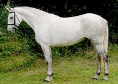 Irish Draught Sport Horse competition mare. The product of breeding an Irish Draught Horse stallion to a hotblood or warmblood mare - usually thoroughbred - or breeding two Irish Sport Horses. It is Ireland's premier elite international competition horse.
