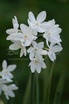 Daffodil - Ziva (indoor) / Paperwhite