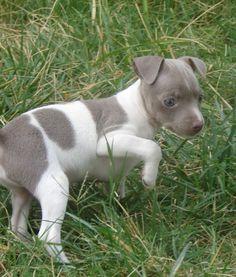 Free Rat Terrier | Toy Rat Terrier puppies
