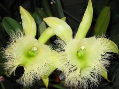 Strange Flowers, Unique Flowers, Green Flowers, Amazing Flowers, Orchid Plants, All Plants, Tropical Plants, Tropical Flowers, Honduras