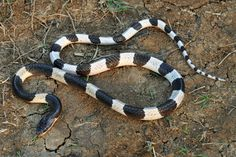 Top 10 Deadliest Snakes #3 Malayan or Blue Krait (Bungarus candidus ), Southeast Asia and Indonesia