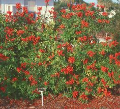 Cape Honeysuckle  Tecomaria capensis  Evergreen, fast growing shrub. Not a honeysuckle at all, does not require trellis structure. Spreads quickly via runners. Dark green, glossy foliage year round.