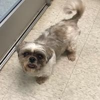 Teddee Is An Adoptable Shih Tzu Dog In Irving Tx Irving Animal Care Campus 4140 Valley View Lane Irving Tx 75038 Pho Animals Animal Shelter Shih Tzu Dog