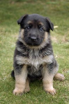 German Shepard pup :) I want one!
