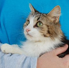 Unity Petite young lady, lovely longhair feline, spayed, 1 year.