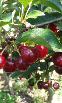 A meggy az egyik legértékesebb gyümölcsünk Health 2020, Cherries, Gardening, Fruit, Maraschino Cherries, Cherry Fruit, Lawn And Garden, Cherry, Horticulture